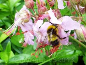 Bee_EarlyBumble-600CR